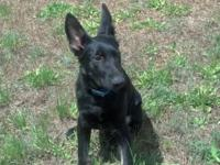 AKC 8 month old Male Black German Shepherd, up to date