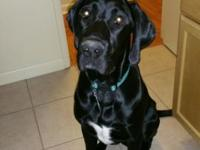 Murphy is an 8 Month old Great Dane and Labrador mix.