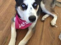 Beautiful husky female 8 months old she is spayed and