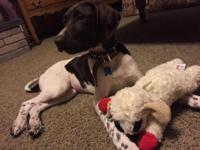 Meet Remington! He is a sweet german shorthaired