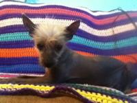 I have a 8 month old Mexican hairless puppy that is
