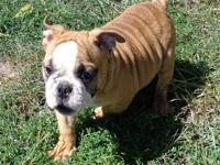 she is short, white and fawn with black brindle, great