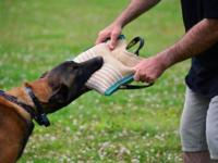 Zoe is a 8 mth old Spayed Female Belgian Malinois from