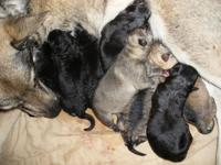 8 young puppies born July 5, 2014. We have a range of
