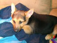 8 Purebred German Shepherd Puppies. Born December 11th.