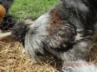 I have 8 silkie eggs available plus extras. I can ship