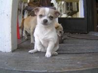 8 Week old Female White/Tri Chihuahua puppy Dad is CKC