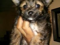 8 week female yorkie mixed with pomeranian she'll come