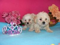 Daisey young puppies, 8 weeks old, 2 females offered.