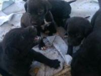8 week pups black with white paws adorable.If