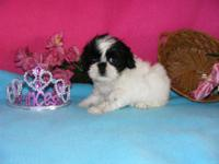 Shih Tzu puppies, 8 weeks old, 1 female & & 2 males