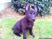 Beautiful 8 week old AKC German Shepherd puppies 4 all