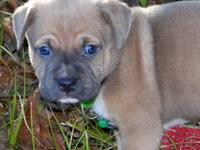This is an 8 week old male American Pit Bull Terrier