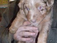 We have Australian shepherd puppies. We have some ASCA