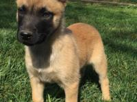 8 week old Belgian Malinois puppies They have had their