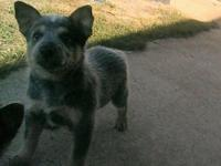 8 week old blue heeler female puppy, house trained,