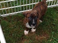 I have 3 full blooded Boxer young puppies ready for
