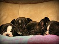 Adorable ACA & APRI registered French Bulldog puppies.