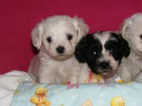 Adorable hypoallergenic, non shedding sweetheart is