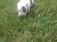 I have a white blue nose female pitbull with its ears