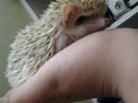 young female hedgehog. she is about 8weeks old. all