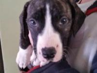 Female dark brindle pitbull mix puppy looking for a