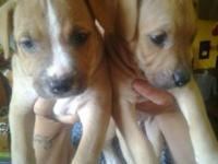 I have two 8 week old fawn gemale put bull puppies they