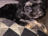 I HAVE A 8 WEEK OLD FEMALE SHIH TZU PUPPY UP TO DATE ON