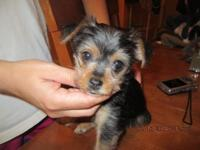 Gorgeous 8 week old female yorky, She already has her