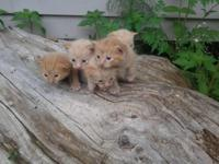 creamsicle colored baby kittens Half flame point