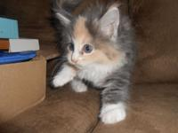 Maine Coon Kittens, 1 shots and wormed, 1 year health