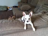 Tan,male chihuahua puppy already pad trained needs a