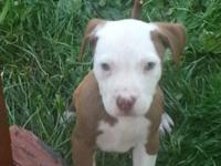 I have an 8 week old male pitbull puppy for sale. Ready