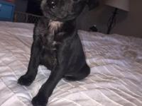 I have a male, all black, Min-Pin Puppy for sale. He is