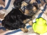 8 week old morkie puppy utd on shots and deworming
