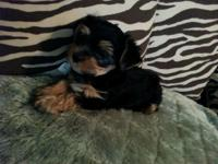 8-weeks old Morkies for sale 2-males (2-Black & Tan)