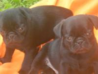 We have 5 adorable black pug puppies looking for their