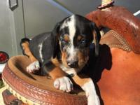 Gorgeous eight week old male Catahoula puppy. He was