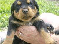 I have 2 fm and 1m rottweiler puppies, tails docked dew