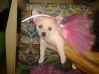 scotter is an 8 week old male teacup male chihuahua