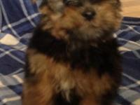 We have a fantastic little yorkie dog all set for his