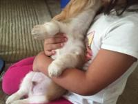My 8 week old Shih Tzu/ beagle puppy needs a new home