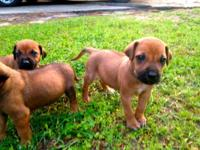 I have 3 males and 5 females Ridgeback pups available,
