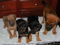 8 Weeks old Doberman Pincher German Shepherd & Husky