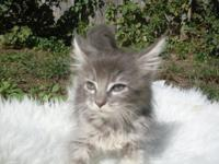 Maine Coon Kittens, male and female, blues, blue and