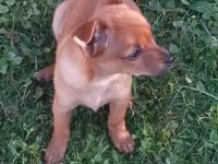 I have 4 male Chihuahua offered. Puppies are 8 weeks