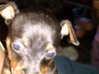 I have 2 very sweet little female pups . 1blk/tan the