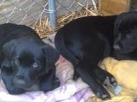 8 weeks old CKC Purebred Black lab puppies available-