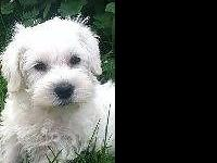 Female Schnoodle Puppy. Ready to go. Wormed,