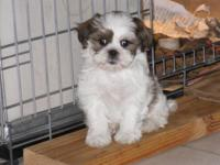 Hypo-allergenic, no-shed 8 wk aged ShihTzu/Poo puppies.